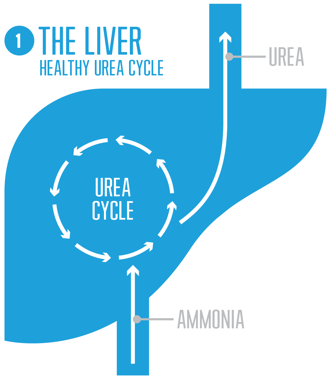 Healthy urea cycle diagram with normal serum ammonia levels and urea production